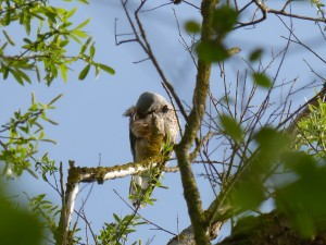94-1-64-faucon-crecerelle
