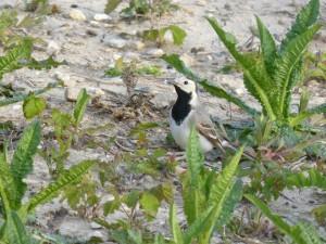 94-2-15-bergeronnette-grise-juvenile