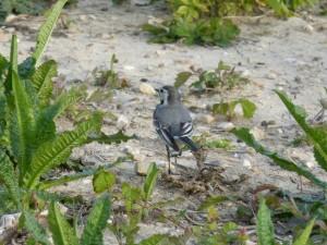 94-2-16-bergeronnette-grise-juvenile