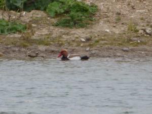 95-27-nette-rousse-male
