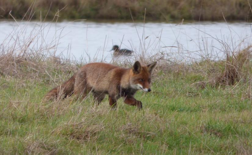 renard-roux-06