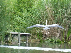 100-13-un-heron-cendre