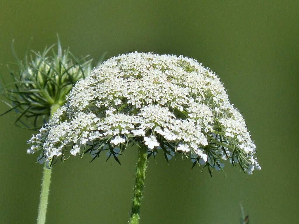 100-31-une-ombelle-de-fleurs