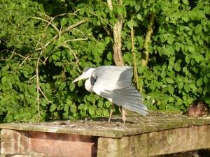 100-74-le-reveil-du-heron