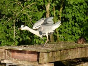 100-75-le-reveil-du-heron