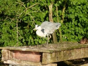 100-77-le-reveil-du-heron