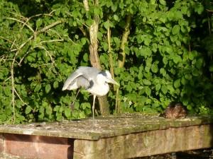 100-78-le-reveil-du-heron