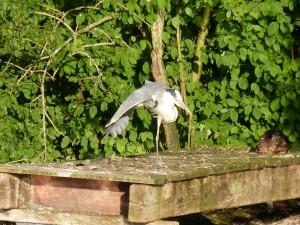 100-79-le-reveil-du-heron