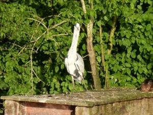 100-81-le-reveil-du-heron