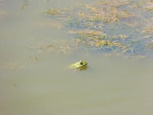 101 108 Une grenouille