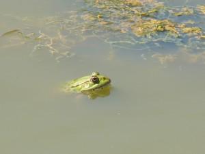 101 109 Une grenouille
