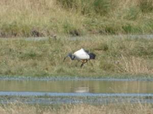 104-2 17 Un ibis sacré