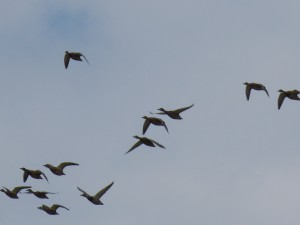 106 04 Canards colverts