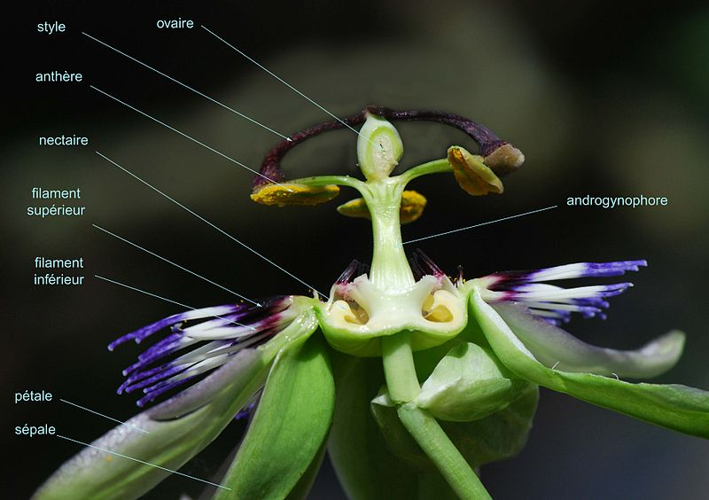 Passiflora_caerulea_coupe2