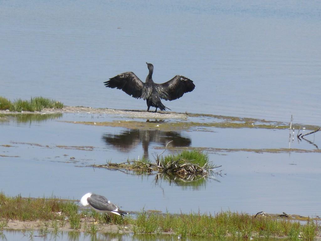 107-1 46 Un grand cormoran