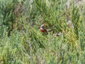 107-1 51 Une linotte mélodieuse mâle