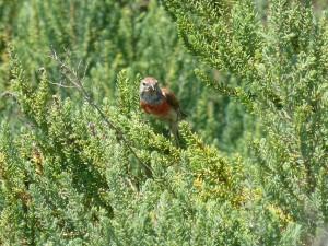 107-1 54 Une linotte mélodieuse mâle