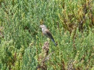 107-1 56 Une linotte mélodieuse femelle