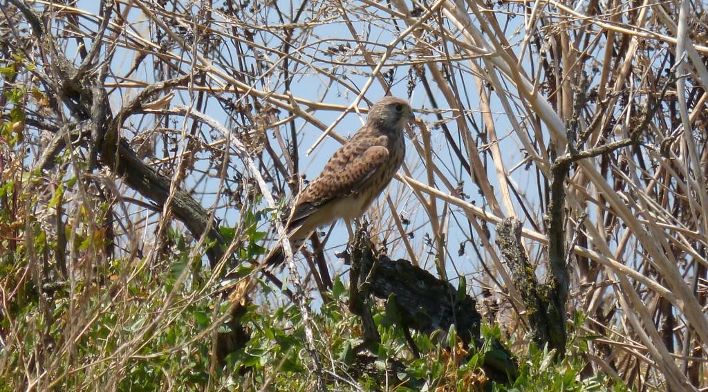 107-1 70 Un faucon crécerelle