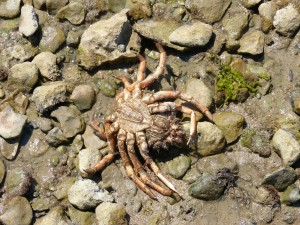 107-2 07 Une araignée de mer