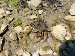 107-2 08 Une araignée de mer
