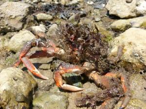 107-2 09 Une araignée de mer
