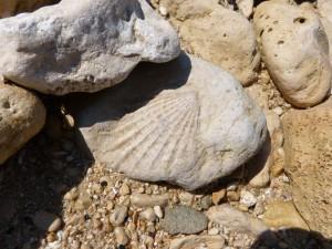 107-2 29 Un bivalve fossile