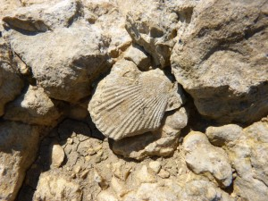 107-2 30 Un autre bivalve fossile