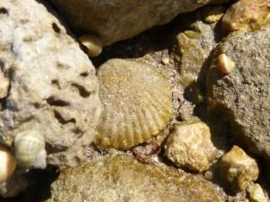 107-2 33 Un autre brachiopode fossile