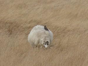 109 32 Une étourneau sur un mouton