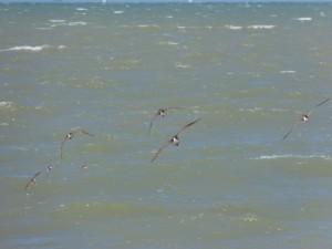 110-1 05 Des courlis en vol