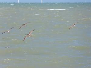 110-1 06 Des courlis en vol