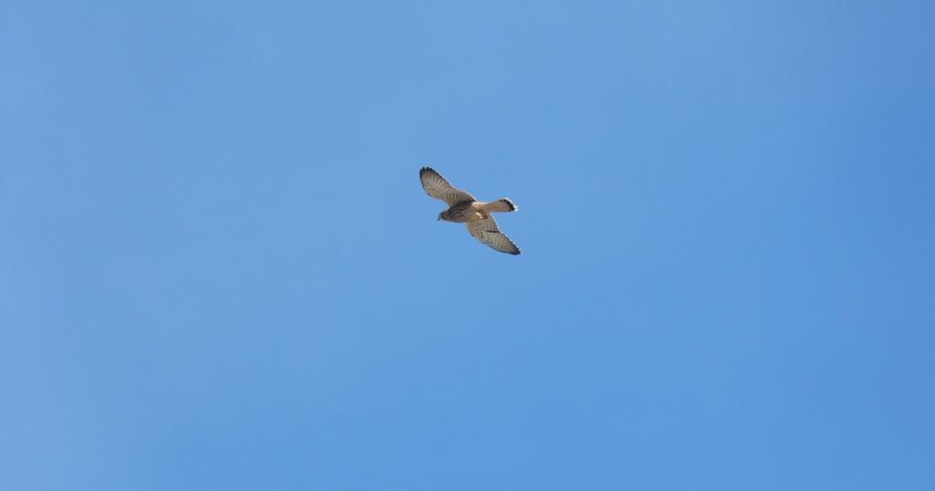 110-1 31 Un faucon crécerelle