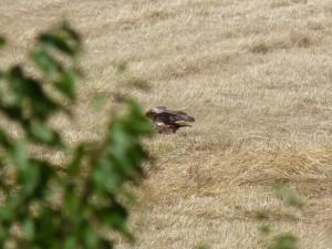 110-2 02 Un busard des roseaux