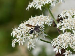 112 69 Une espèce de fourmi à ailes