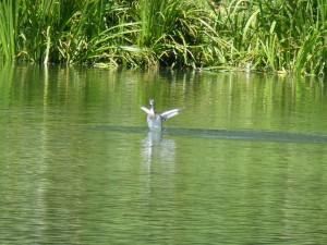 113 08 Grébu sur l'eau