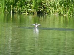 113 09 Grébu sur l'eau