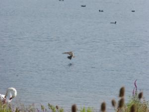 115 05 Un faucon hobereau