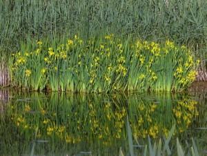 Iris faux acorejpg