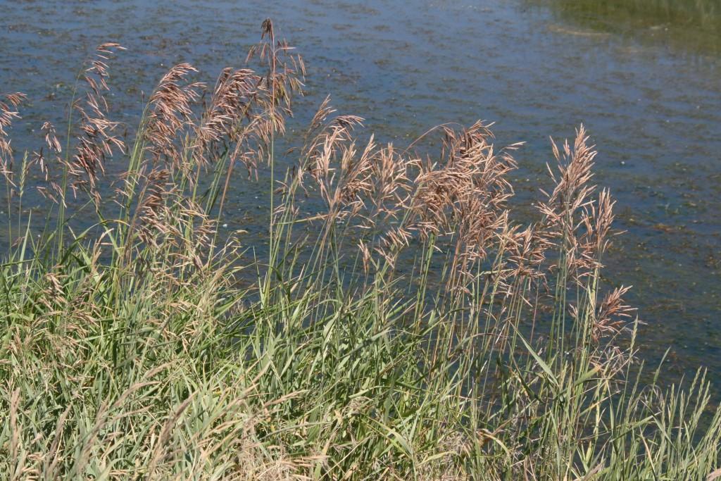 Phalaris arundinacea 1