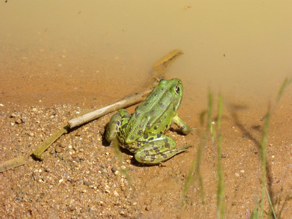HS2 081 Une grenouille