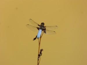 HS2 082 Une libellule déprimée