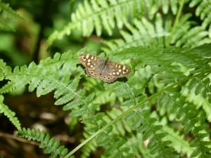 HS2 093 Le papillon