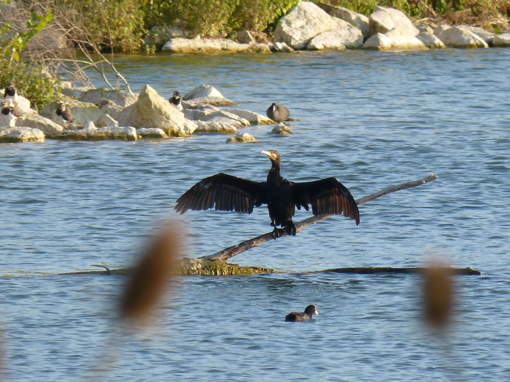 119 48 Un grand cormoran