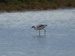 Avocette élégante (Recurvirostra avosetta, Récurvirostridés)
