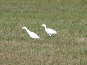 Hérons garde-bœufs (Bubulcus ibis, Ardéidés)