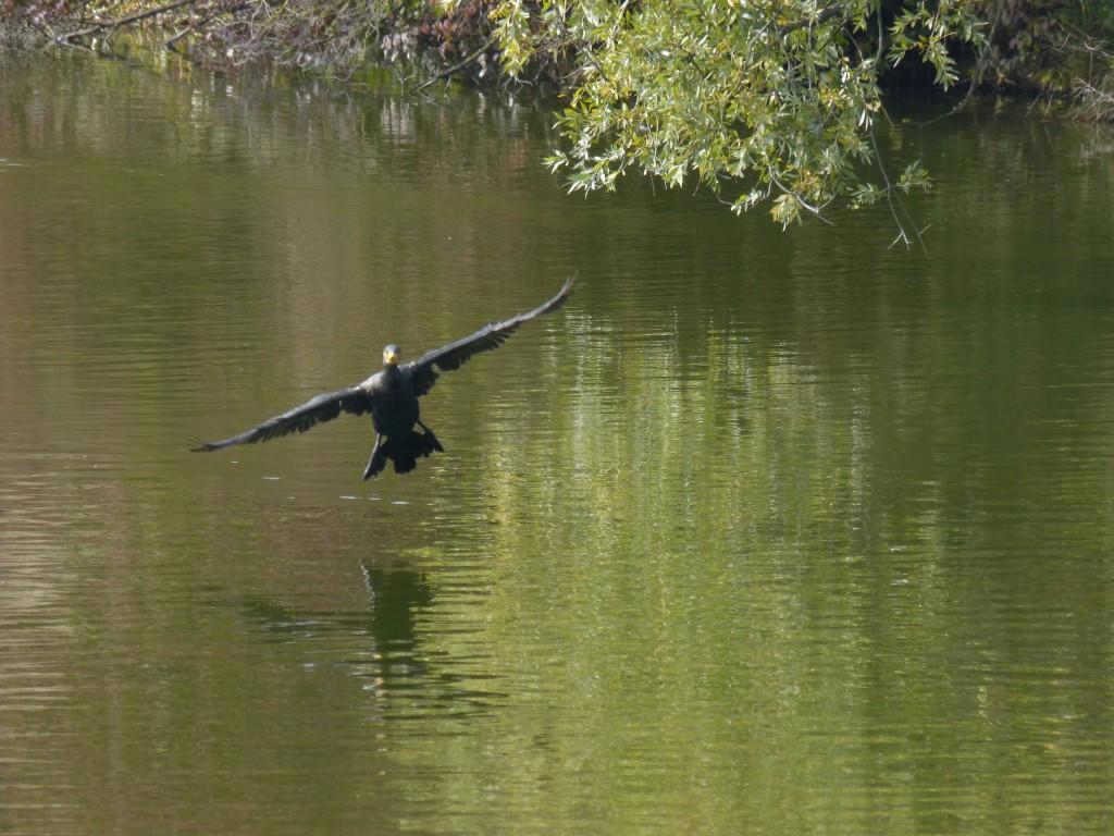 44 08 Grand cormoran
