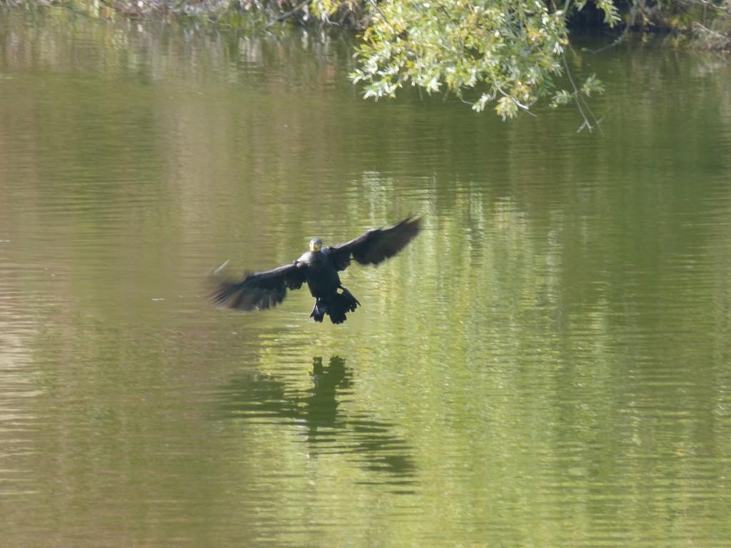 44 09 Grand cormoran