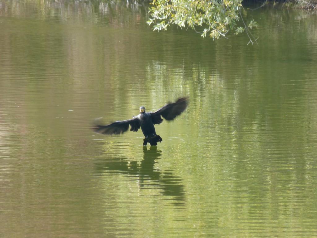 44 10 Grand cormoran