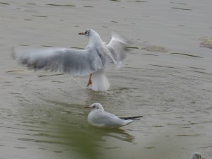44 33 Mouette rieuse